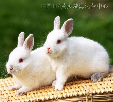 小白兔 宠物
